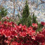 5月になりましたね。ツツジの花も咲き誇ってます